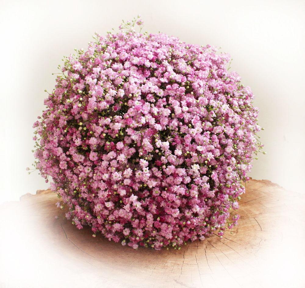 Paniculata rosa